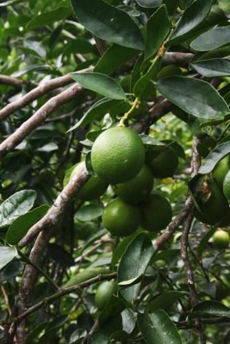 Goldtoast Limes Mavis's Kitchen Mount Warning